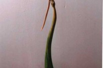 Pinus. Bois de pin . 50x20x10 cm