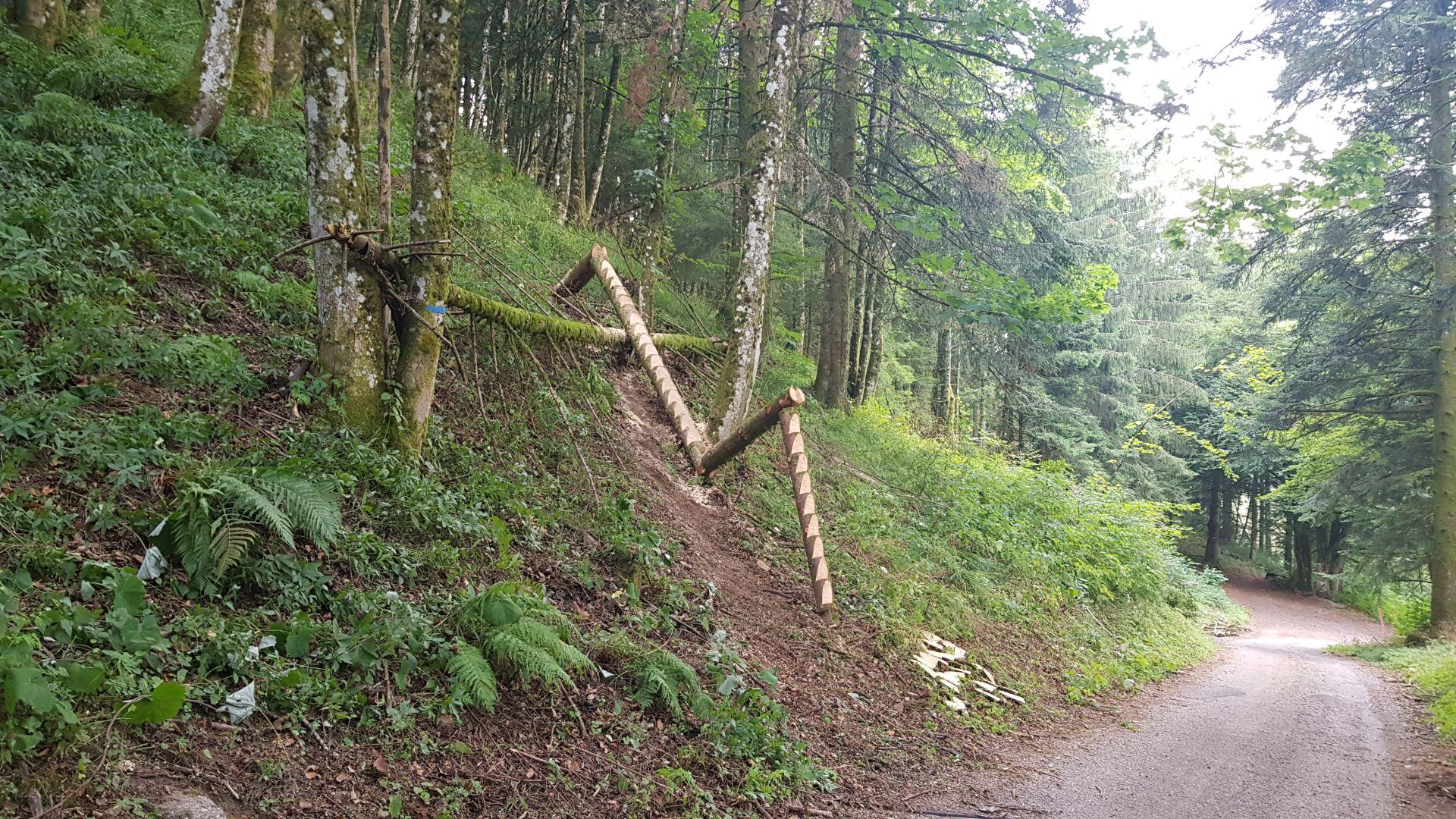 Abies le sapin des Vosges